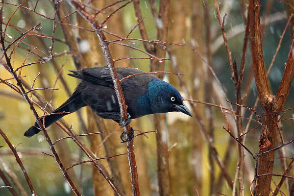 Photograph - Beautiful Common Grackle by Trina  Ansel