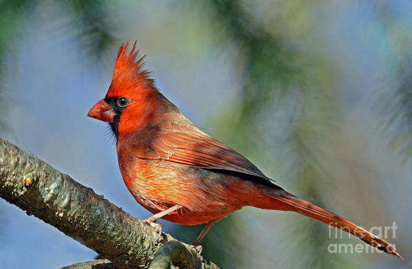 Photograph - Beautiful Female Cardinal by Rodney Campbell