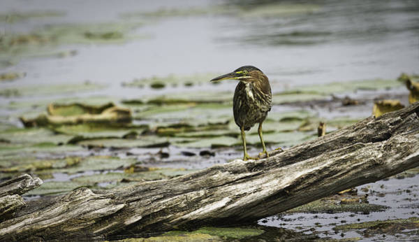 Wall Art - Photograph - Beautiful Green Heron by Thomas Young
