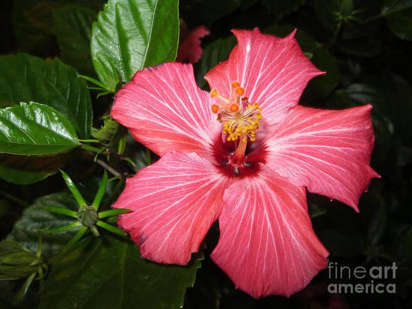 Beautiful Hibiscus Art Print