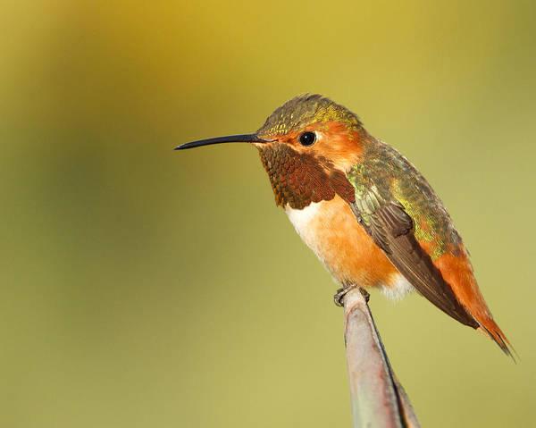 Photograph - Beautiful Hummingbird by Steve Kaye