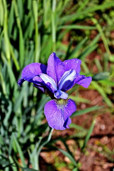 Photograph - Beautiful Iris by Felix Zapata