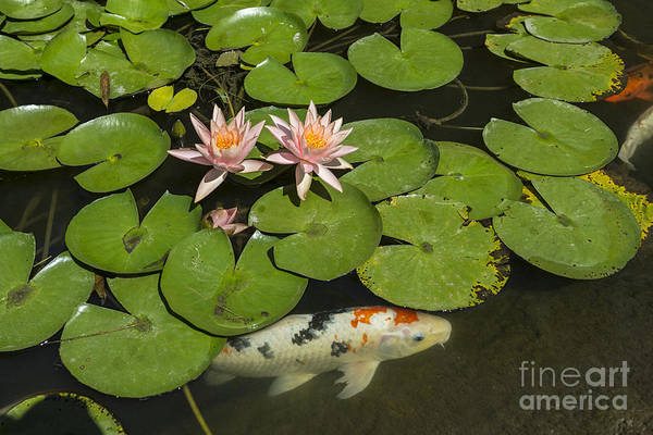 Ornamental Fish Photograph - Beautiful Lily Pond With Pink Water Lilies In Bloom With Koi Fis by Jamie Pham