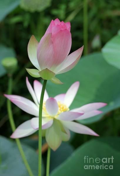 Photograph - Beautiful Lotus Blooming by Sabrina L Ryan