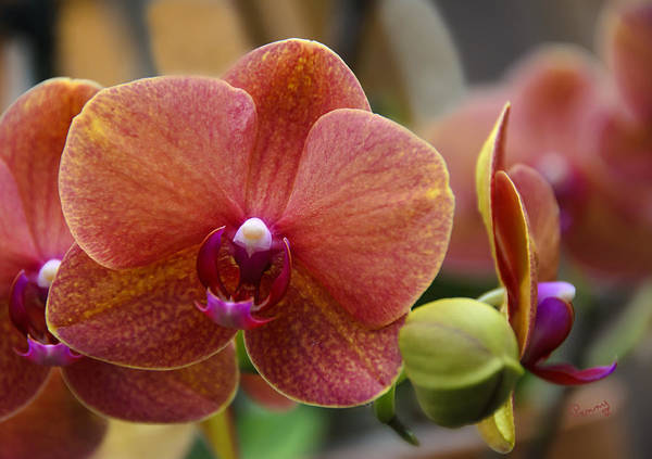 Photograph - Beautiful Moth Orchid by Penny Lisowski
