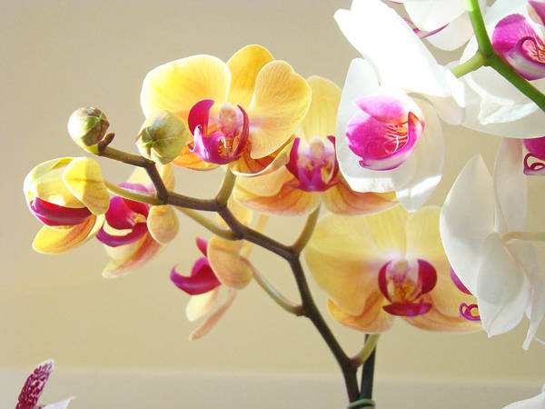 Wall Art - Photograph - Beautiful Orchids Floral Art Prints Orchid Flowers by Baslee Troutman