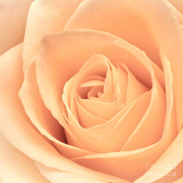 Wall Art - Photograph - Beautiful Pink Rose Square Format by Edward Fielding