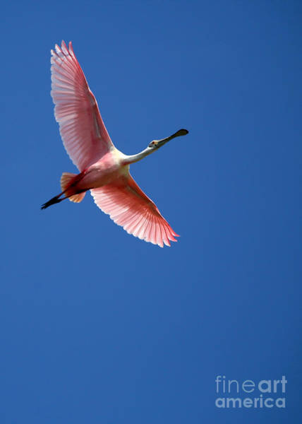 Photograph - Beautiful Pink Roseate Spoonbill by Sabrina L Ryan