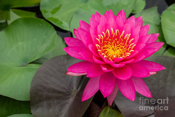 Waterlily Wall Art - Photograph - Beautiful Pink Waterlily by Tosporn Preede