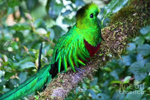 Quetzals Photograph - Beautiful Quetzal 2 by Heiko Koehrer-Wagner