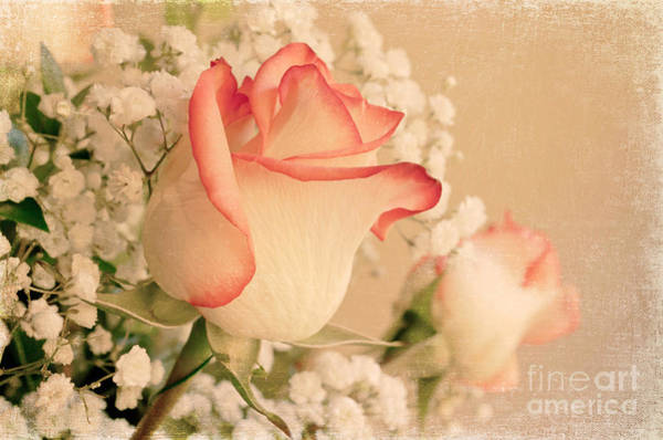 Wall Art - Photograph - Beautiful Rose by Lena Auxier
