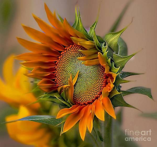 Beautiful Sunflower Art Print