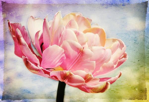 Photograph - Beautiful Tulip by Trina  Ansel