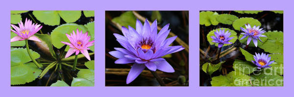 Photograph - Beautiful Water Lily Triptych by Carol Groenen