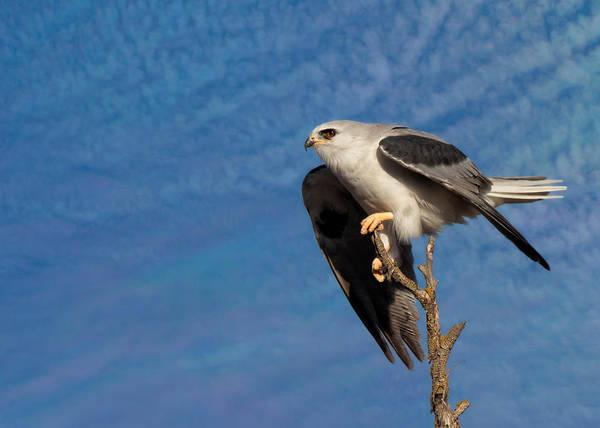White-tailed Kite Photograph - Beautiful White-tailed Kite by Kathleen Bishop