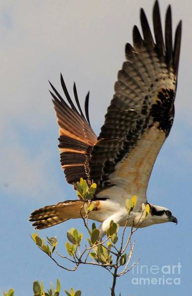 Fish Eagle Photograph - Beautiful Wings by Quinn Sedam