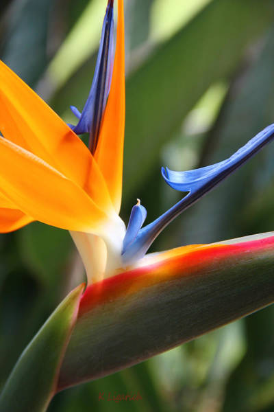 Bird Of Paradise Photograph - Beauty In Paradise by Kerri Ligatich