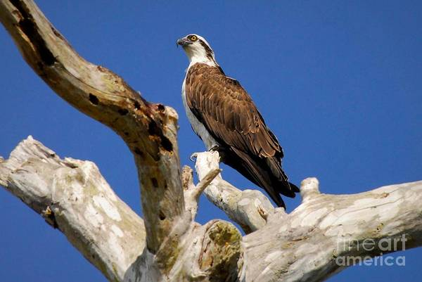 Fish Eagle Photograph - Beauty In The Tree by Quinn Sedam