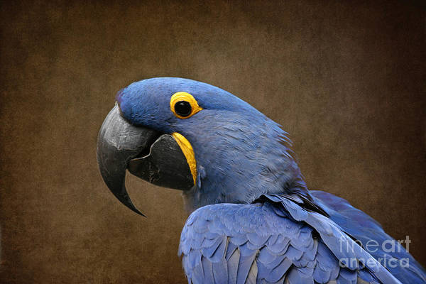 Hyacinth Macaw Photograph - Beauty Is An Enchanted Soul - Hyacinth Macaw - Anodorhynchus Hyacinthinus by Sharon Mau
