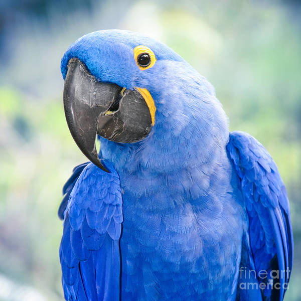 Hyacinth Macaw Photograph - Beauty Is An Enchanted Soul by Sharon Mau
