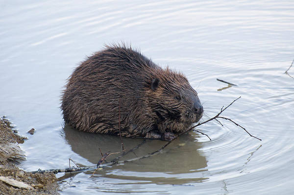 Photograph - Beaver Chewing On Twig by Chris Flees
