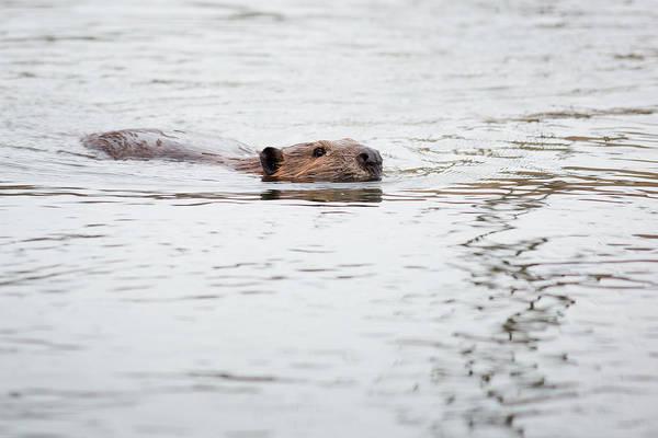Photograph - Beaver by Dale Kincaid