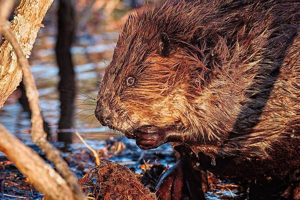 Photograph - Beaver Eating Bellamy Resrvoir. by Jeff Sinon