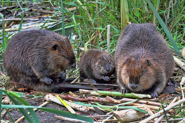 Photograph - Beaver Family by Peggy Collins