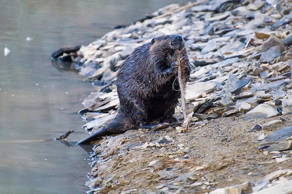 Photograph - Beaver Sharpens Stick by Chris Flees