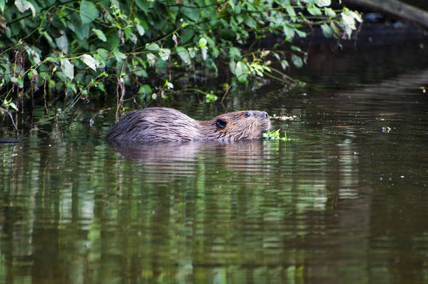 Photograph - beaver swims in NC lake by Chris Flees