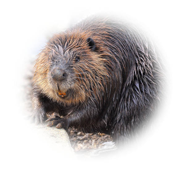 Trapping Photograph - Beaver by Todd Hostetter