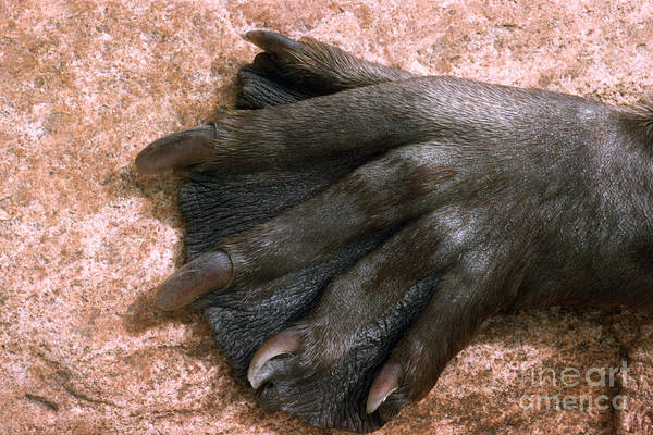 Photograph - Beavers Hind Foot by V B Scheffer