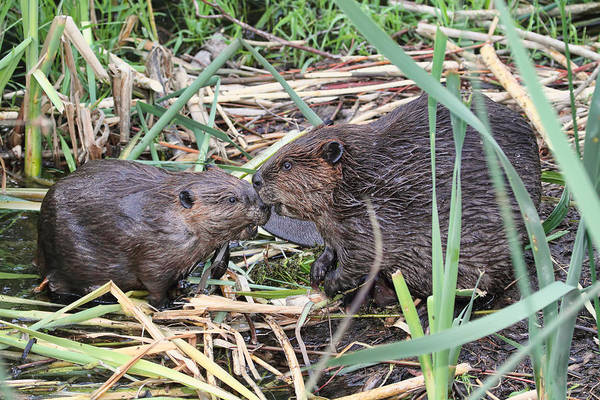 Photograph - Beavers Kissing by Peggy Collins