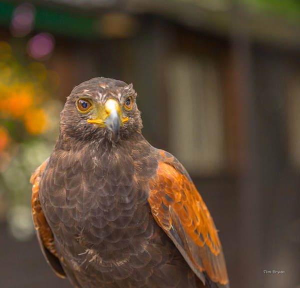 Photograph - Beckett.....  A Harris Hawk  by Tim Bryan