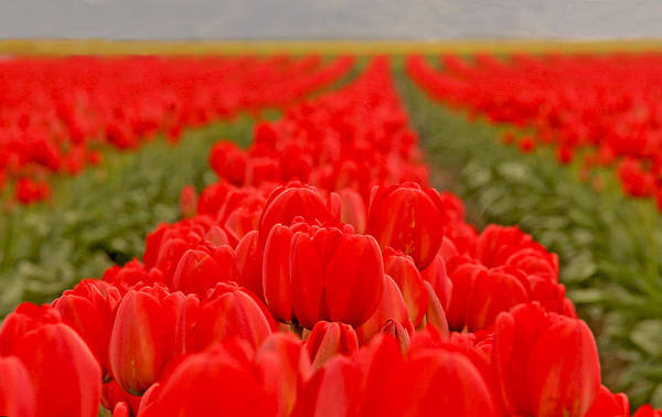 Photograph - Beds Of Red by Peggy Collins