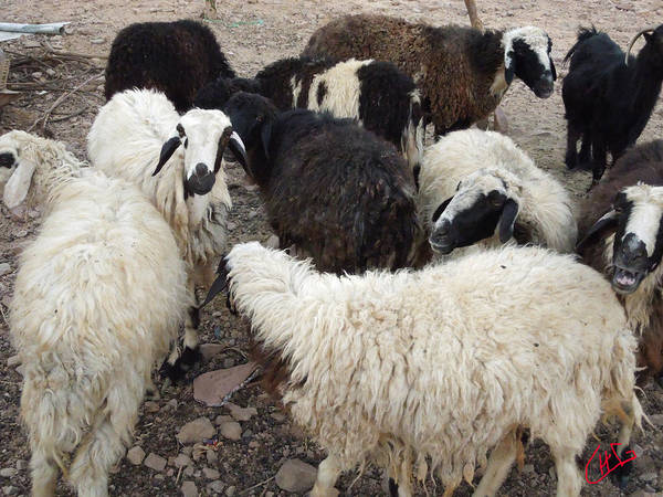 Photograph - Beduin Sheep Farm Desert Sinai Egypt by Colette V Hera  Guggenheim