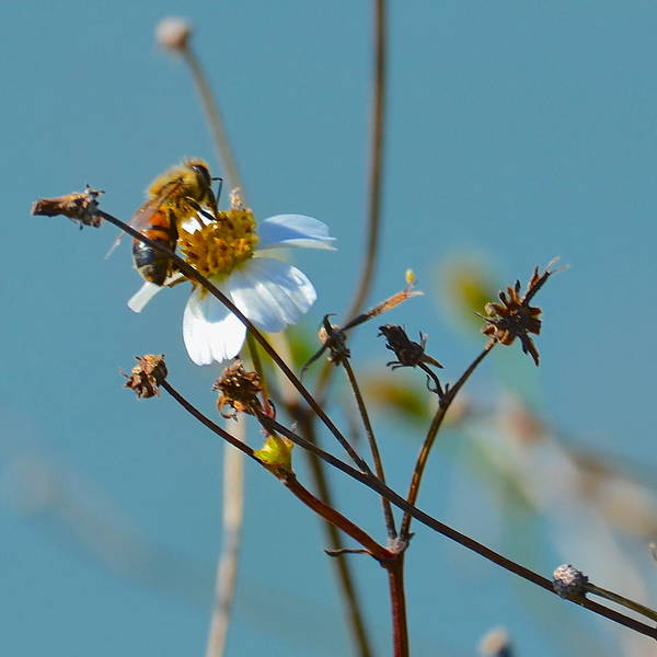 Photograph - Bee And A White Flower by AnnaJo Vahle
