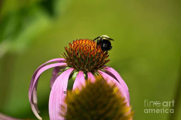 Photograph - Bee And Echinacea Flower by Ms Judi
