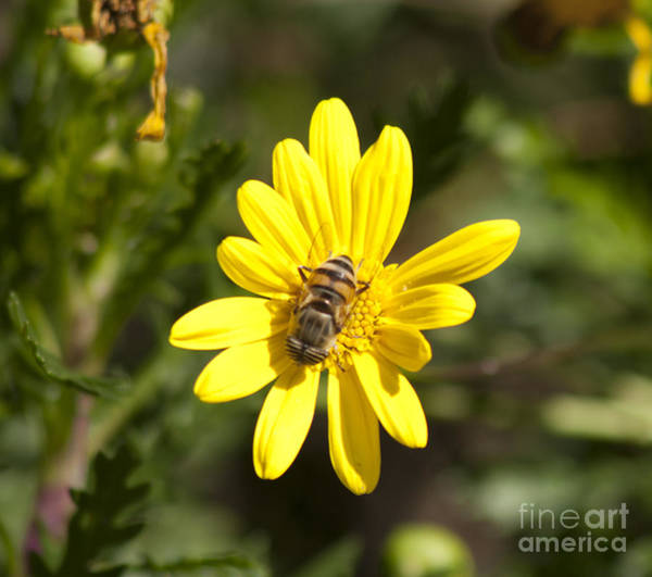 Photograph - Bee And Flower by M Valeriano