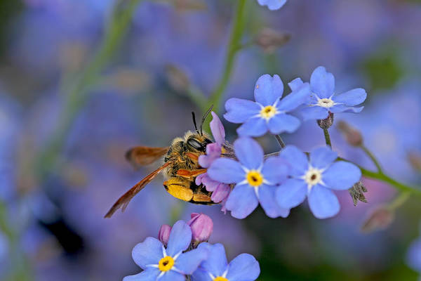 Photograph - Bee And Forget-me-nots by Peggy Collins