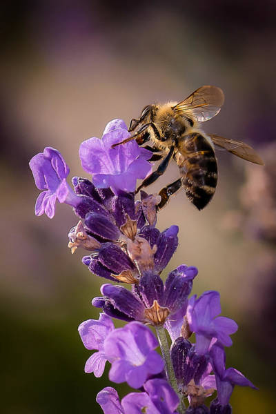 Photograph - Honeybee Working Lavender by Len Romanick