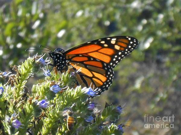 Photograph - Bee And Monarch  by Bridgette Gomes