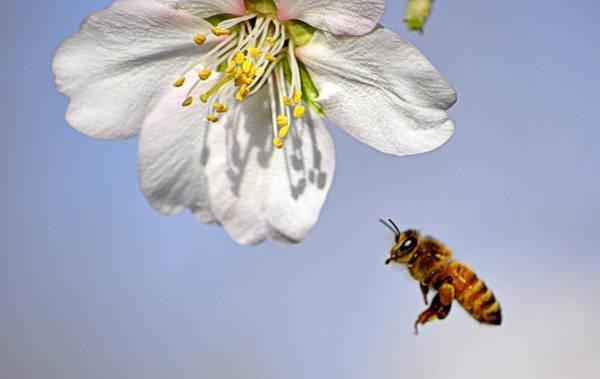 Photograph - Bee And The Almond Blossom by AJ  Schibig