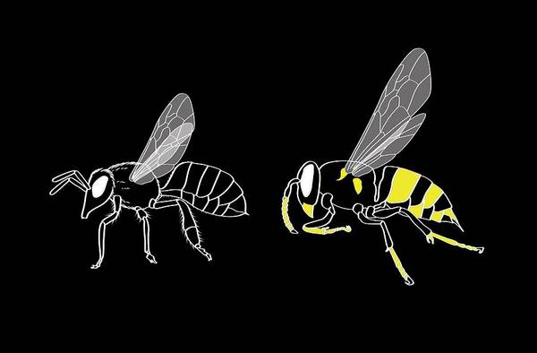 Bee Sting Photograph - Bee And Wasp Anatomy by Claus Lunau