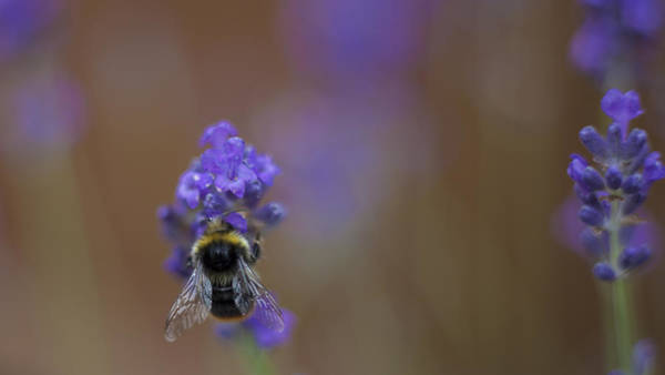 Pollen Photograph - Bee At Work by Nigel Jones