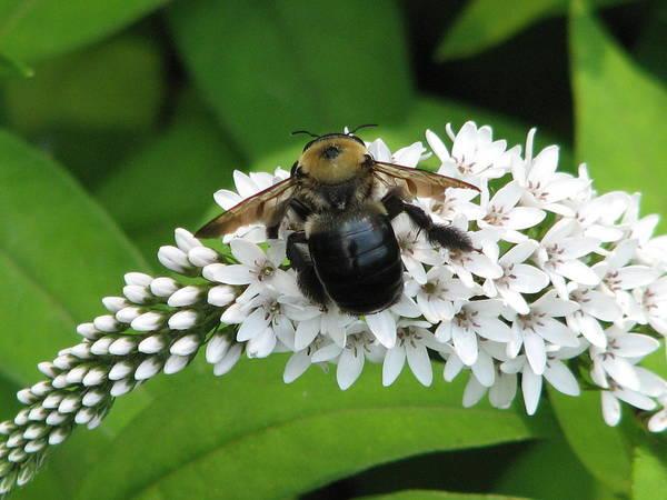 Photograph - Bee Back by Cleaster Cotton