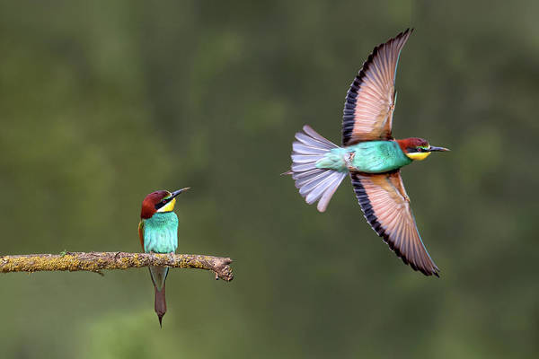 Flying Bird Photograph - Bee-eater Going For Food by Xavier Ortega