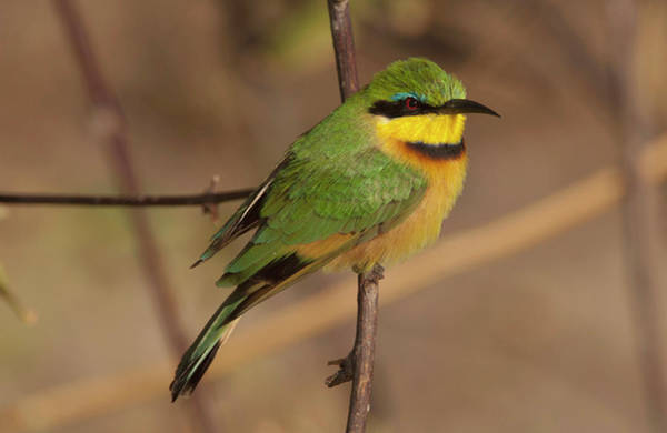 Stoney Photograph - Bee Eater Posed On Branch, Botswana by Jan and Stoney Edwards