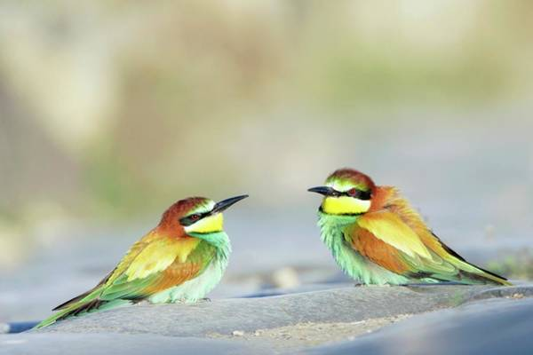 Wall Art - Photograph - Bee-eaters by Manuel Presti/science Photo Library