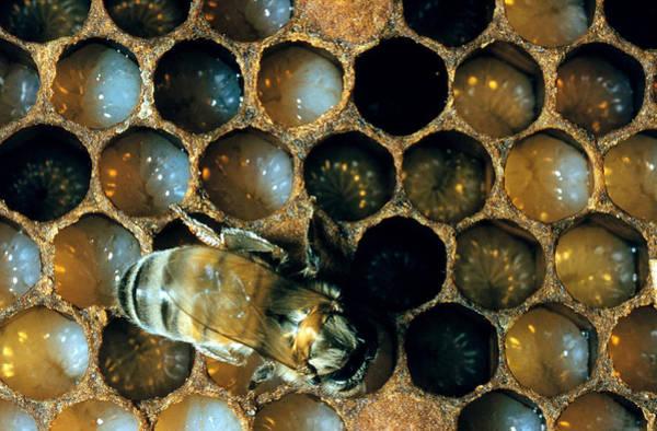 Wall Art - Photograph - Bee Feeding Larvae by W Treat Davidson